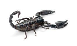 Emperor Scorpion, Pandinus imperator Stock Image