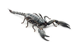 Emperor Scorpion, Pandinus imperator Stock Photos