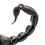 Emperor Scorpion, Pandinus imperator, close up. Of tail against white background Royalty Free Stock Image