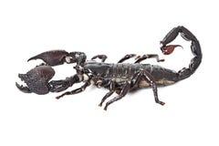 Emperor Scorpion isolated on white Stock Image