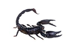 Emperor Scorpion, Pandinus imperator, of white background. royalty free stock photo