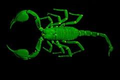 Emperor scorpion under UV light royalty free stock photo