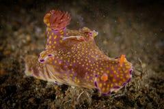 Emperor shrimp. Periclimenes imperator Emperor shrimp on nudibranch Royalty Free Stock Photo