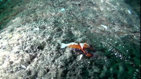 Emperor shrimp  on Goluturia in Indonesia stock video footage