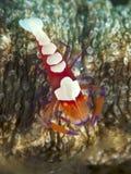Emperor shrimp stock photos