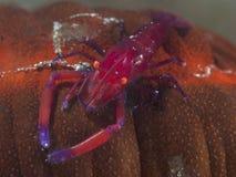 Emperor shrimp. In molucca sea stock photos