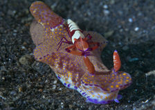 Emperor shrimp rides sea slug Royalty Free Stock Photos