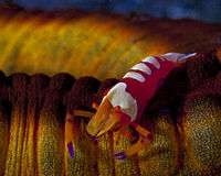 Emperor shrimp on sea cucumber Stock Photography