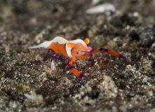 Emperor shrimp. Walking on sand Royalty Free Stock Photography