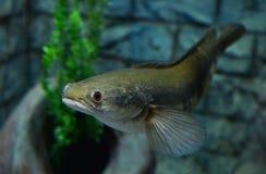 Emperor snake-head fish Royalty Free Stock Photo