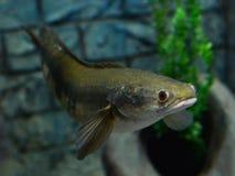 Emperor snake-head fish Stock Photo