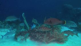 Emperor Snapper, Napoleon and Trevallies. Emperor Snapper, Napoleon and Trevallies hunting on a coral reef. 4k footage stock footage