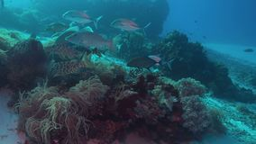 Emperor Snapper, Napoleon and Trevallies. Emperor Snapper, Napoleon and Trevallies hunting on a coral reef. 4k footage stock video