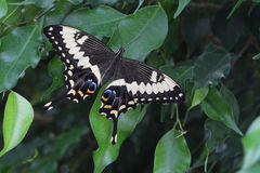 Emperor Swallowtail Butterfly Stock Photo
