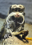 Emperor Tamarin. With long hairs sticking out tongue Royalty Free Stock Photography