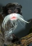 Emperor Tamarin Stock Photography