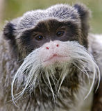 Emperor tamarin 2 Royalty Free Stock Images