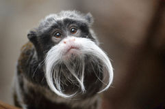 Emperor Tamarin. On a branch Stock Photography