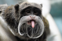 Emperor Tamarin Stock Images