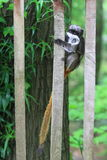 Emperor tamarin. Climbing on the fence Stock Images