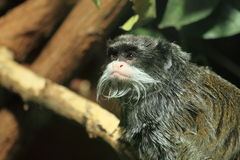 Emperor tamarin Royalty Free Stock Images