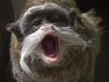Emperor tamarin Stock Photos
