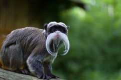 Emperor tamarin. Looking into the camera stock images