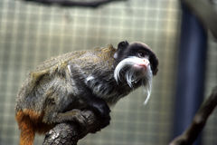 Emperor tamarin monkey Royalty Free Stock Images