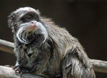 Emperor Tamarin Monkey. South American Tamarin Monkey Posing In Tree Stock Image