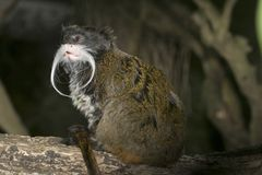 Emperor Tamarin monkey. Saguinus imperator, a native of the Amazon Jungle of South America Royalty Free Stock Image