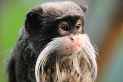 monkey - Emperor Tamarin monkey on branch white mustache Royalty Free Stock Image