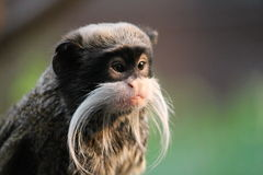 Emperor Tamarin monkey on branch white mustache Stock Photography