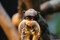 Emperor Tamarin monkey on branch white mustache eating Royalty Free Stock Photos