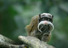 Emperor tamarin monkey. With funny mustache Royalty Free Stock Photos