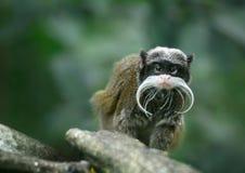 Emperor tamarin monkey Royalty Free Stock Photos