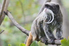 Emperor Tamarin monkey Royalty Free Stock Image