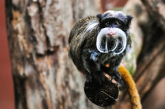 Emperor Tamarin Monkey sticking out its tongue Royalty Free Stock Photos