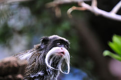 Emperor Tamarin Monkey watching something Stock Image