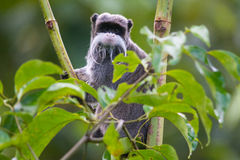 Emperor Tamarin in Peru. An emperor tamarin (also known as the Brockway monkey) (Saguinus imperator) in the rain forest of Peru in South America Stock Photography