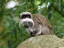 Emperor Tamarin. Portait of a emperor tamarin sitting on a rock Royalty Free Stock Image