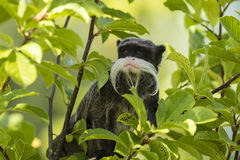 Emperor Tamarin Saguinus closeup. Closeup portrait of a Emperor Tamarin Saguinus imperator, primate in a tree on a bright, vibrant and sunny day stock image