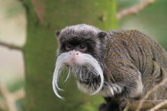 Emperor tamarin or Saguinus imperator. The emperor tamarin, Saguinus imperator, also known as the Broadway monkey in some parts of North America, is a species of Royalty Free Stock Image