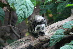 Emperor Tamarin Saguinus imperator Stock Photo