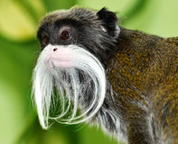 Emperor Tamarin Royalty Free Stock Photos