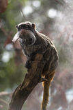 Emperor Tamarin (Saguinus imperator) Royalty Free Stock Photos