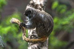 Emperor Tamarin (Saguinus imperator). Sitting on a tree Royalty Free Stock Images