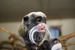 Emperor Tamarin - Saguinus imperator. Wild miniature monkey Stock Photos