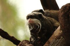 Emperor tamarin on tree. Emperor tamarin monkey sitting on a branch Stock Images