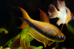 Emperor tetra Stock Photography