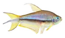 Emperor Tetra Fish Stock Image